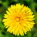 Dandelion from top, close up, macro flower Royalty Free Stock Photo
