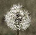 Dandelion tuft closeup flower seeds artistic Royalty Free Stock Photography