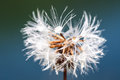Dandelion with water droplets Royalty Free Stock Photo