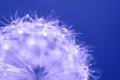 Dandelion with water drops. Macro of a dandelion.