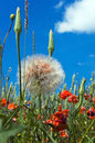 Dandelion and wild flowers on background sky a of blue Royalty Free Stock Image
