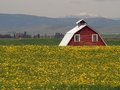 Dandelions, Barn and Mountains Stock Image