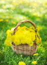 Dandelions in the basket Royalty Free Stock Photo