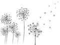 Dandelions black and white illustration Stock Photo