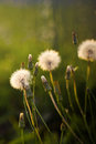 Dandelions blooming on green bokeh background Stock Photos