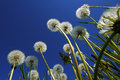 Dandelions Blue Sky Royalty Free Stock Photo