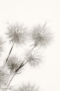 Dandelions bunch of on light background sepia Stock Images