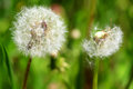 Dandelions close up Royalty Free Stock Photo
