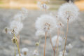 Dandelions close up photo of three white beautiful grown outdoors Royalty Free Stock Photography