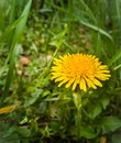 Dandelions close up photography of a flower Royalty Free Stock Photo