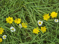 Dandelions and Daisies Royalty Free Stock Images