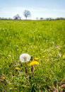 Dandelions at different stages from close Royalty Free Stock Photo