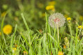 Dandelions in field close up Royalty Free Stock Photo
