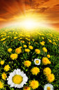 Dandelions field in the sunset Royalty Free Stock Photography