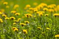 Dandelions field of yellow flowers Royalty Free Stock Photography
