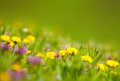 Dandelions in the grass and purple flowers Stock Images