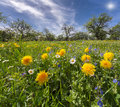 Dandelions on a green meadow in sunlight Stock Images
