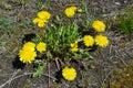 Dandelions on the ground