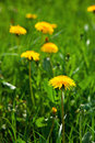 Dandelions in the meadow Royalty Free Stock Photos