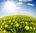 Dandelions meadow blue sky Royalty Free Stock Photo