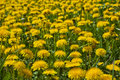 Dandelions meadow the with full of Royalty Free Stock Photos