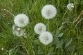 Dandelions in meadow Royalty Free Stock Photo