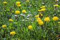 Dandelions in the meadow slovakia Royalty Free Stock Image