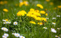 Dandelions on the meadow slovakia Royalty Free Stock Photography
