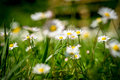 Dandelions on a medow second version little with romantic impression Stock Photography