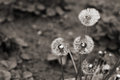 Dandelions monochrome image spring time Royalty Free Stock Photography