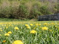 Dandelions photos dandelion meadow in the background is a forest Royalty Free Stock Images