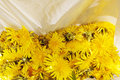 Dandelions plucked for honey making Stock Photography