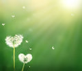 Dandelions in shape of a heart Royalty Free Stock Photo