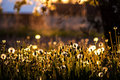 Dandelions shot of in orchard during the sunset Royalty Free Stock Photography