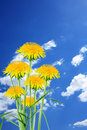 Dandelions on sky few beautiful against blue with clouds Royalty Free Stock Images