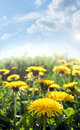 Dandelions on spring field Stock Photography