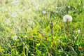 Dandelions on summer field with sun rays, blurred bright background selected focus, blur, summer, spring, sun Royalty Free Stock Photo