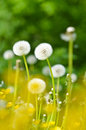 Dandelions, summer flowers Royalty Free Stock Photo
