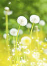Dandelions, summer flowers Royalty Free Stock Photo