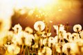 Dandelions in sunlight field of at sunset Royalty Free Stock Photography