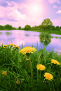 Dandelions at sunrise. Royalty Free Stock Photo