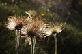 Dandelions at sunset summer landscape with Stock Image