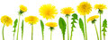 Dandelions taraxacum officinale mix of over clear white background Stock Images