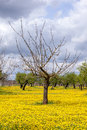 Dandelions and tree field of with without leaves young olive trees Stock Photos