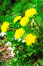 Dandelions yellow with green leaves selective focus Royalty Free Stock Photo