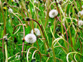 Dandylion Weeds Stock Photography
