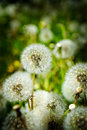 Dandylion Weeds in Field Growing Royalty Free Stock Photo