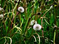 Dandylion Weeds Royalty Free Stock Photo