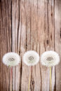 Danelion fluff on wooden background or seeds a aged or antique Stock Photos
