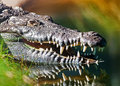 Dangerous American Crocodile In Water Royalty Free Stock Photo